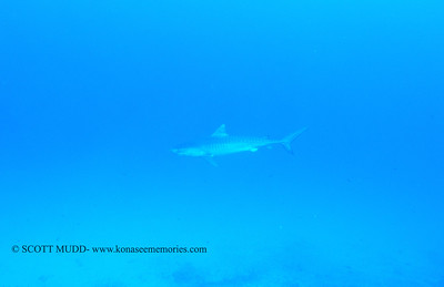tigershark naiabay3 110217thurs