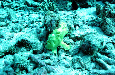 frogfish turtleheaven5 110117wed