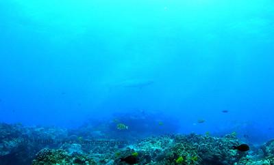 tiger shark turtleheaven4 112617 sun