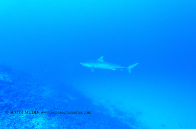 tigershark naiabay 110217thurs