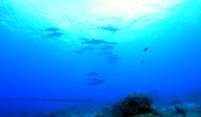 spinnerdolphins spotteddolphins naiabay 112517sat