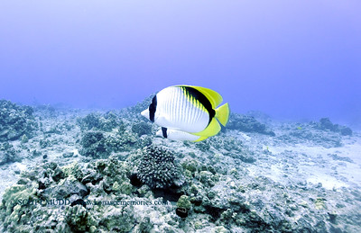 lemonbutterflyfish turtleheaven3 112717tues