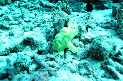 frogfish turtleheaven3 110117wed