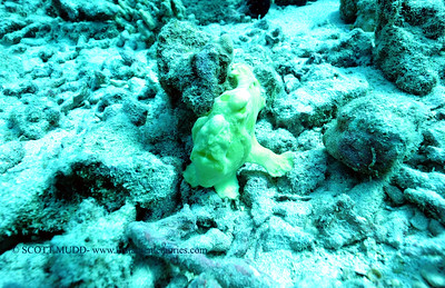 frogfish turtleheaven4 110117wed