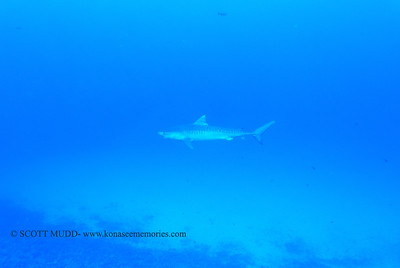 tigershark naiabay2 110217thurs