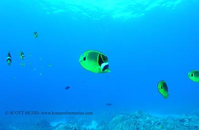 raccoonbutterflyfish naiabay 112117tues