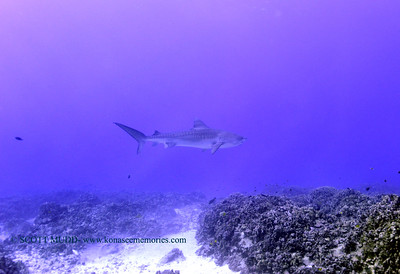 tiger shark turtleheaven4 120317sun