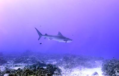 tiger shark turtleheaven7 120317sun