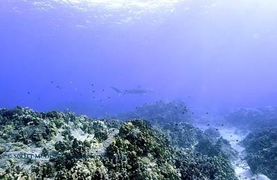 tiger shark turtleheaven 120317sun