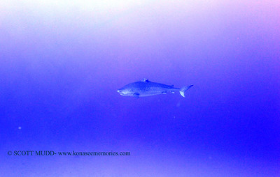 tiger shark laverne greencan3 120717thurs