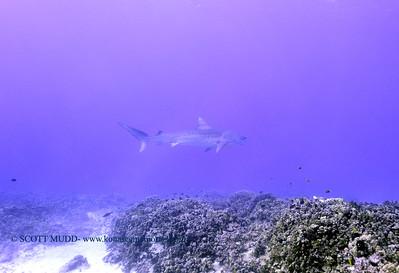 tiger shark turtleheaven3 120317sun