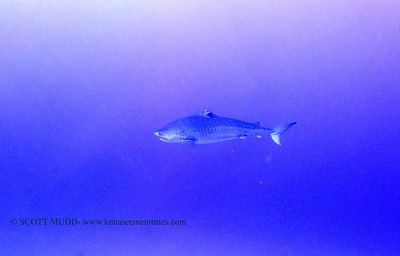 1tiger shark laverne greencan3 120717thurs