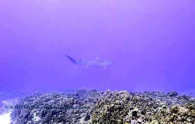 tiger shark turtleheaven2 120317sun