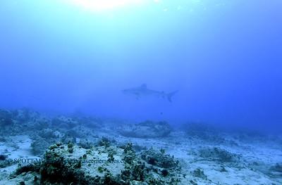 kona tiger shark