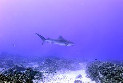 tiger shark turtleheaven5 120317sun