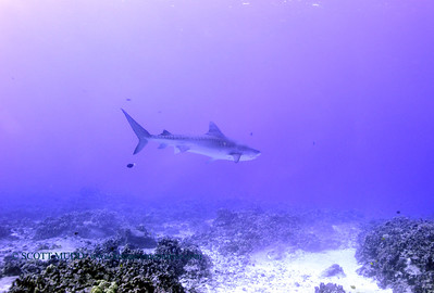 tiger shark turtleheaven6 120317sun