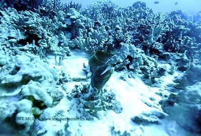 whitemouthmoray turtlepie 123017sat