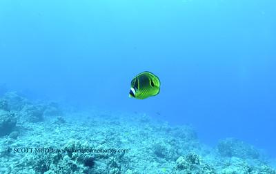 raccoonbutterflyfish naiabay 121817mon