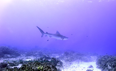 tiger shark turtleheaven8 120317sun