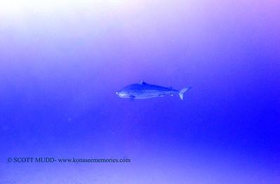 tiger shark laverne greencan2 120717thurs