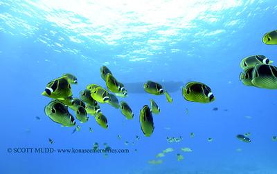 raccoonbutterflyfish naiabay3 121817mon