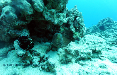 whitemouthmoray turtleheaven 022117tues
