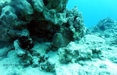 whitemouthmoray turtleheaven 022117tues