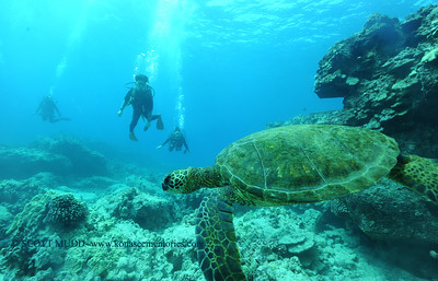divers turtle turtleheaven8 022217wed