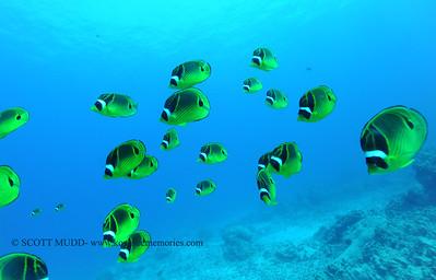 raccoonbutterflyfish naiabay 022117tues