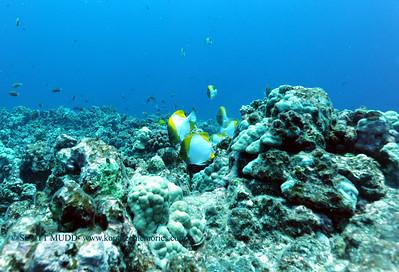 pyramidbutterflyfish kaiwipoint2 031117sat