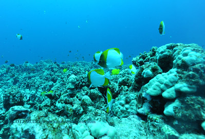 pyramidbutterflyfish kaiwipoint 031117sat