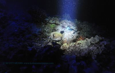 giantporcupinefish keauhou 040317mon