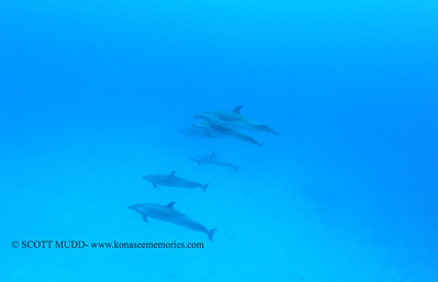 spotteddolphins naiabay 050117mon