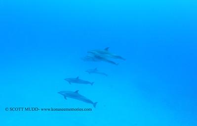 spotteddolphins naiabay 050117mon