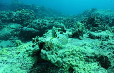 ornatebutterflyfish turtleheaven 060817thurs