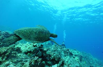 divers turtle turtleheaven 060817thurs