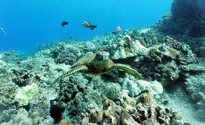 greenseaturtle turtleheaven2 070417tues