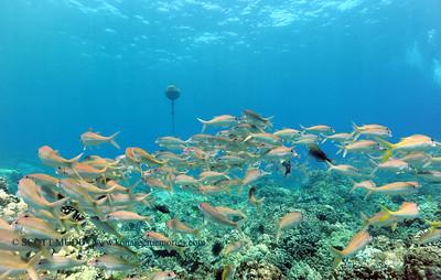 yellowfingoatfish naiabay 070217sun