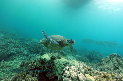 greenseaturtle naiabay2 070417tues