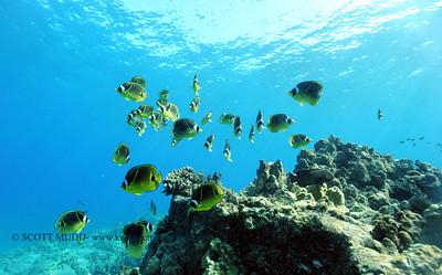 raccoonbutterflyfish turtleheaven3 083117thurs