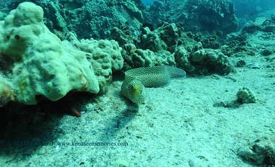 whitemouthmoray turtleheaven 081217sat