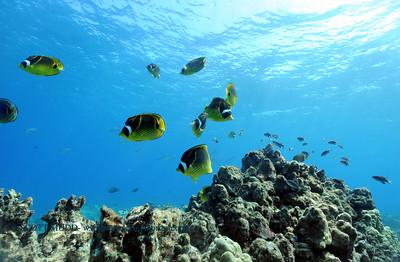 raccoonbutterflyfish turtleheaven 081517tues