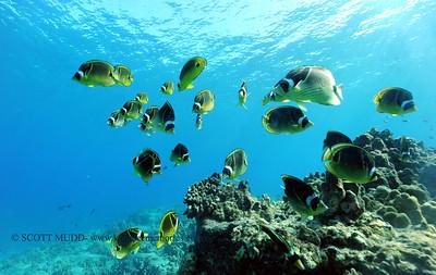 raccoonbutterflyfish turtleheaven2 083117thurs