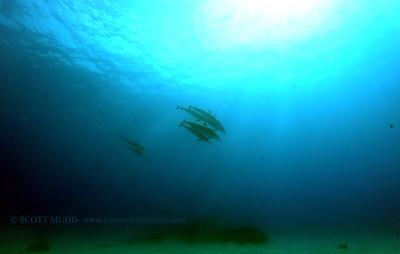 spinnerdolphins kailuabay4 091217tues
