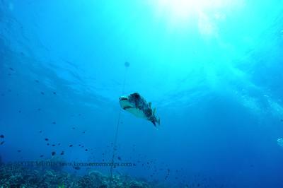 giantporcupinefish bodyglove3 090517tues