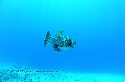giantporcupinefish bodyglove 090517tues
