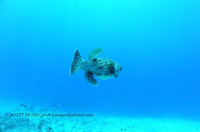 giantporcupinefish bodyglove 090517tues