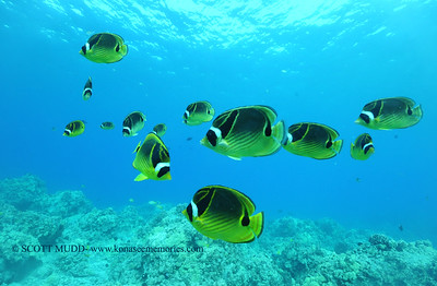 raccoonbutterflyfish naiabay 091817mon