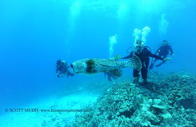 divers giantporcupinefish bodyglove 090517tues