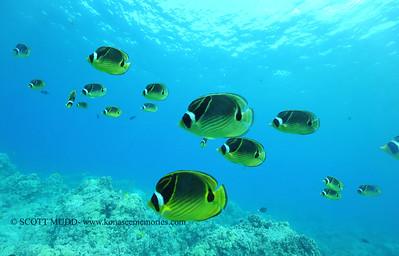raccoonbutterflyfish naiabay3 091817mon